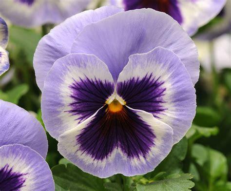 fiore viola pianta di viola a fiore grande inspire plus marina