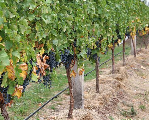 trim grape vines canopy grape wikipedia