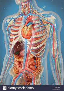Transparent Human Body Showing Heart And Main Circulatory