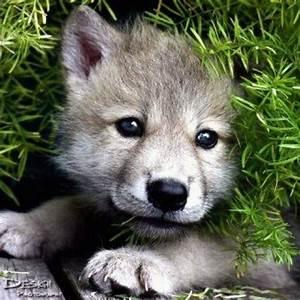Awww so cute. Wolf pup | tatoo ideas | Pinterest | Wolf ...