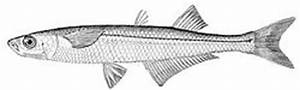 Atlantic silverside - Wikipedia