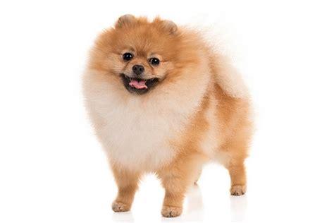 Dog Breeds Pomeranian Puppies