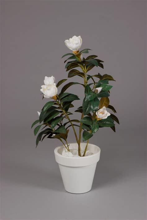 magnolia tree in plastic pot 90cm bomen planten