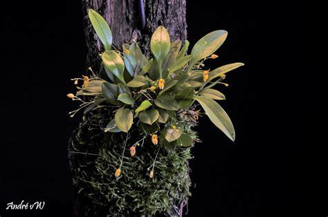 Pleurothallis rubella (Yellow form)   Orchids Forum