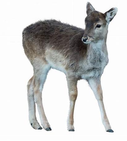 Deer Animals Wild Overlays Education Vol Storyart