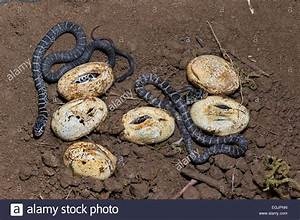 Black Snake Eggs | www.pixshark.com - Images Galleries ...
