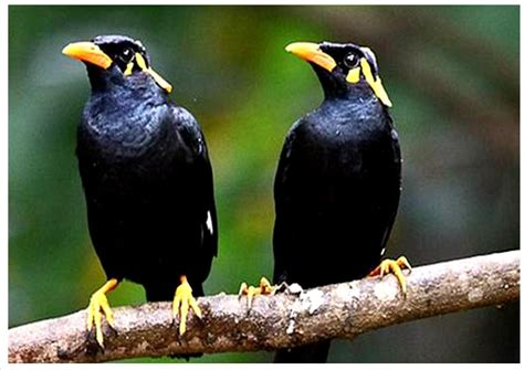 Burung cenderawasih biru merupakan burung langka yang berasal dari tanah papua. gambar Burung yang Langka dan Keterangan Singkat - Tradisi Tradisional