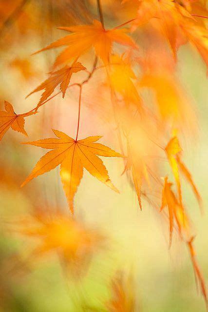 maple leaves seasonal  pinterest paisaje
