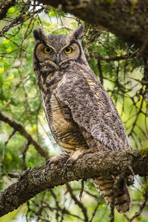 great horned owl kamloops bc birds of bc pinterest