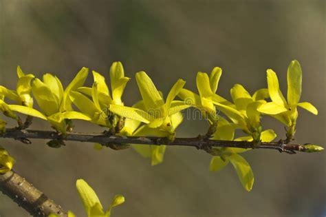 forsythie ein sch 246 ner fr 252 hlingsbusch mit gelben blumen stockfoto bild blumenblatt