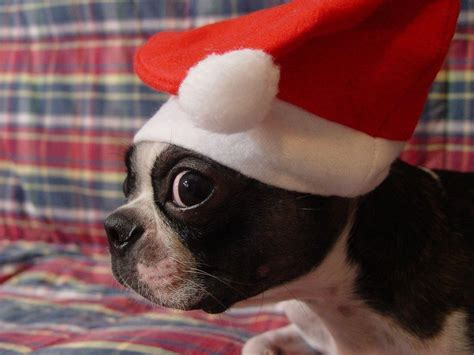 Download hd wallpapers for free on unsplash. Puppy Christmas Wallpapers - Wallpaper Cave