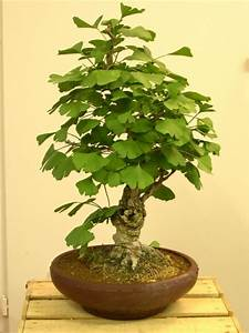 Bonsai Baum Pflege : ginkgo biloba bonsai colorado rocky mountain bonsai suiseki ~ Orissabook.com Haus und Dekorationen