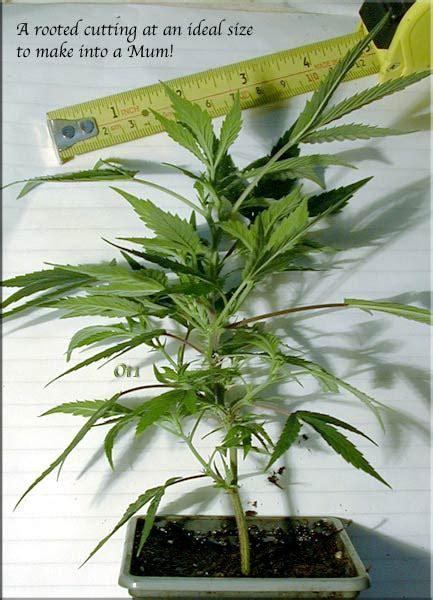 growery bonsai mothers