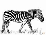 Zebra Coloring Pages Printable Drawing Dot Paper Colorings Nata Categories sketch template