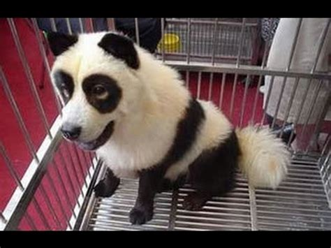 dog panda sore  amazing youtube