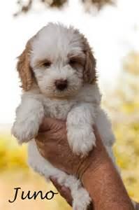 Australian Labradoodle Puppies Cute