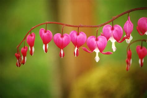 vermont garden journal bleeding hearts  early spring
