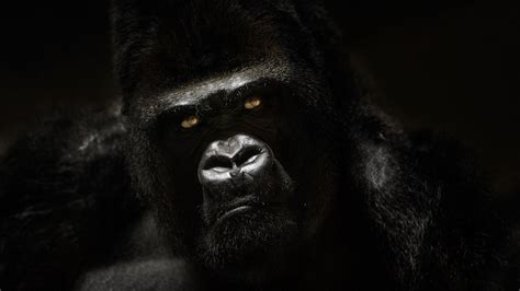 gorilla wallpaper     stmednet