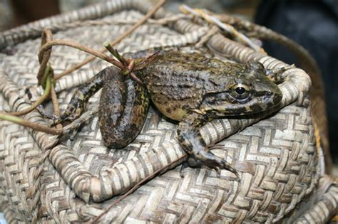 giant philippine frog limnonectes magnus inaturalistorg