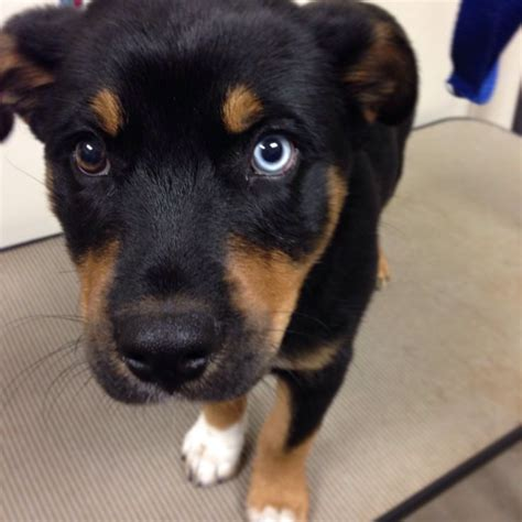 beautiful rottweiler husky mix puppy i animals