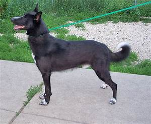 21 Most Adorable Black Canaan Dog Pictures And Photos