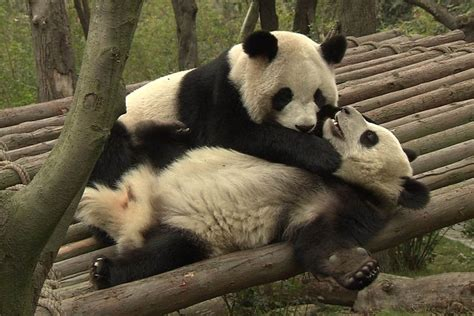 Hello 24-hour Giant Panda Cam, Goodbye Productivity