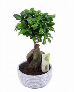 Bonsai Ficus Ginseng : bonsai kopen ~ Buech-reservation.com Haus und Dekorationen