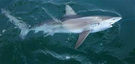 shark species    die  fisheries