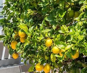 Tailler Un Citronnier : citronnier plantation taille et conseils d 39 entretien de ~ Melissatoandfro.com Idées de Décoration
