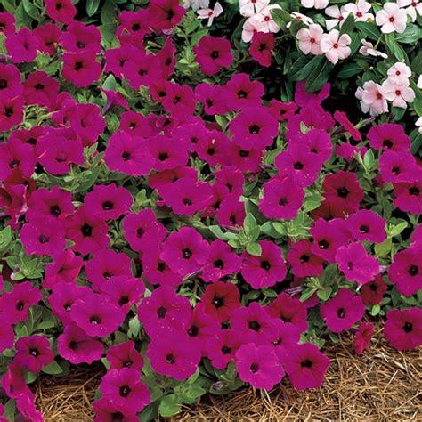 tidal wave petunias petunia tidal wave purple hybrid future garden ideas pintere