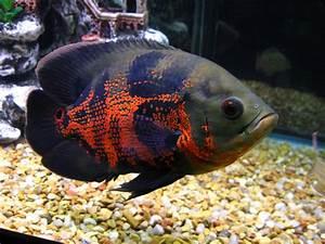 tiger oscar cichlid ~ He looks like the one I had. I ...