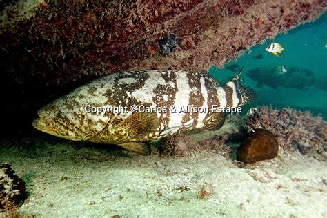 grouper keys florida epinephelus itajara goliath cje