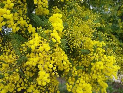 Wattle Golden Flowers Acacia Australia Plant Cake