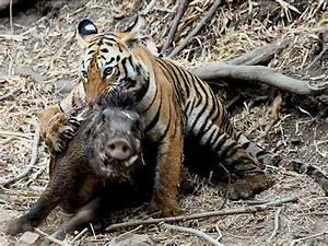 Tigers Eating Deer   www.pixshark.com - Images Galleries ...