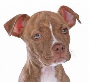 Red Nose Pitbull Facts - 30 Things You Never Knew About Them