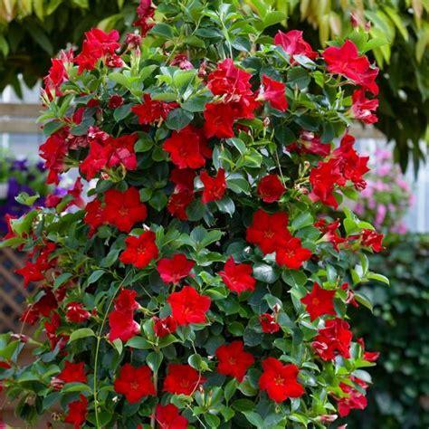 Winterharte Kletterpflanzen Für Kübel by Rote Dipladenia Kaufen Bei G 228 Rtner P 246 Tschke