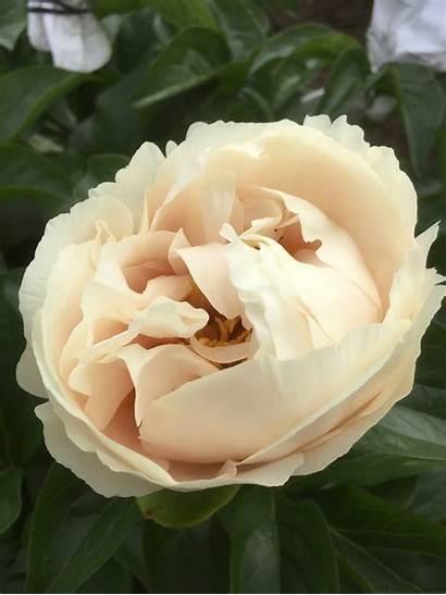 Peachy Peony Fawn Holland Season Flowers Eu