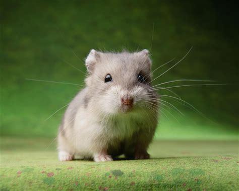 keeping hamsters  pets