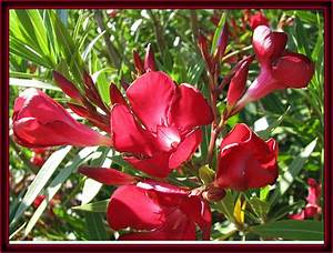 Oleander Plants  U2013 Pictures Of Flowers At Flowerinfo Org