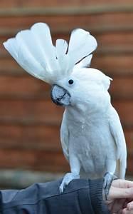 The Umbrella Cockatoo
