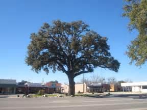 file oak tree in pleasanton tx img 2618 jpg wikimedia commons
