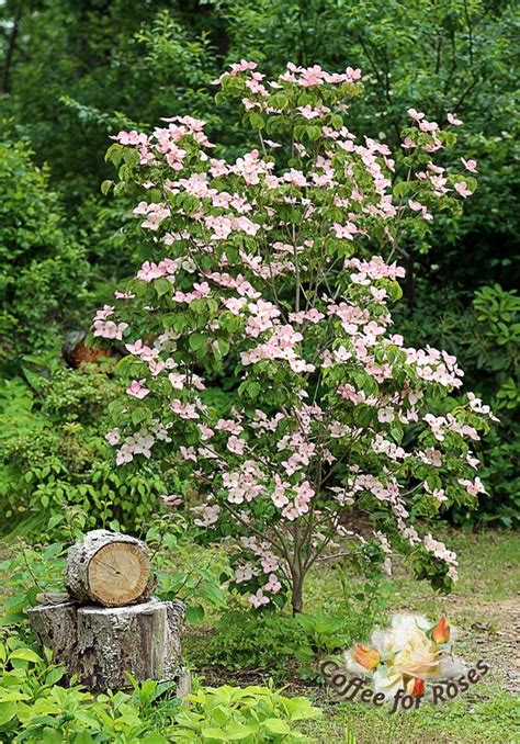 when to plant a dogwood tree best 25 kousa dogwood fruit ideas on pinterest dogwood berries exotic fruit and humidity in
