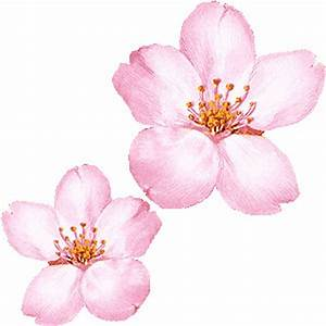 Cherry Blossom clipart single - Pencil and in color cherry ...