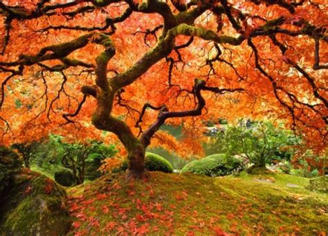 maples tree planting maple tree at your home garden gardening tips gardening ideas