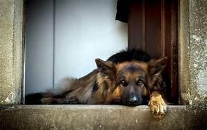 German Shepherd Wallpapers HD Download