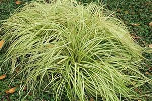 Carex Hachijoensis Evergold Pflege : japan gold segge carex oshimensis ~ Lizthompson.info Haus und Dekorationen
