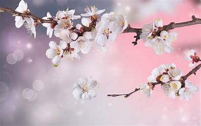 Apple Blossom Wallpapers Tree Blossoms Flowers Branches