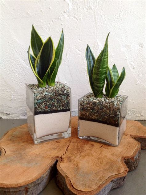 sansevieria  glass  pebbles  sand   wood burl