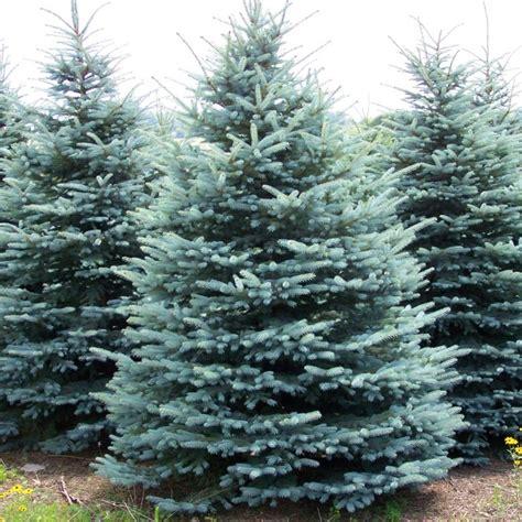 alberi sempreverdi da giardino a crescita rapida