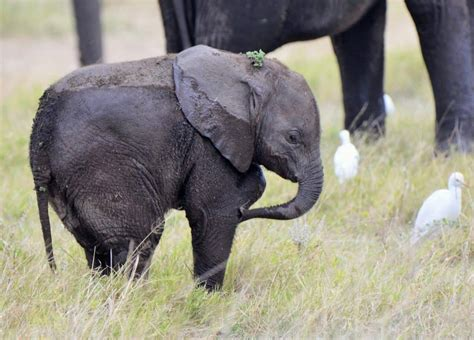 cutest baby elephant pictures  elephant world